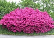 Low Growing Shrubs for Ground Cover