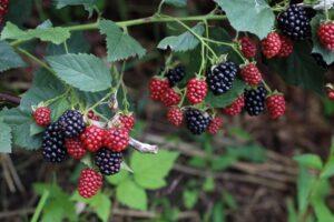 The Best Gardening Gloves for Brambles