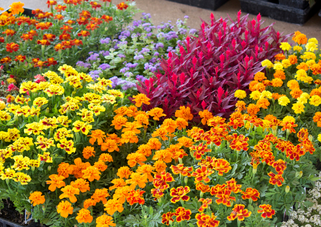 different varieties of marigolds