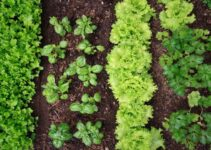 Can I Use Black Mulch for a Vegetable Garden