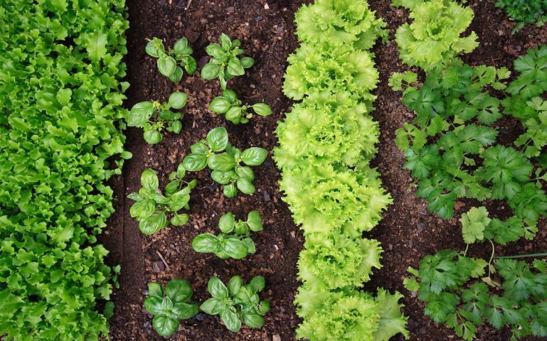 Photo of Vegetable Garden have black mulch