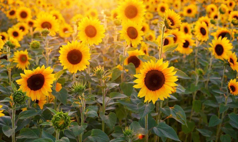 Photo of sunflowers
