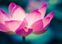 How do Lotus Flowers Grow?