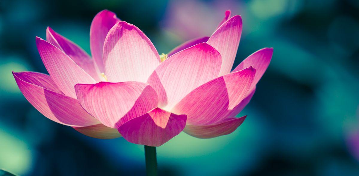 Photo of Lotus Flowers