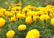 How to grow Marigolds from dried flowers
