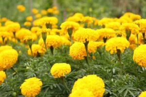 Photo of marigold flower