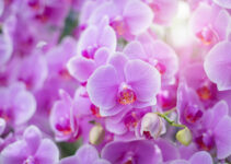 Do Orchid Flowers Grow Back?