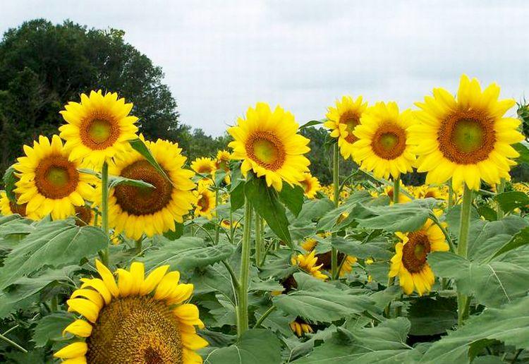 Photo of sunflowers need air