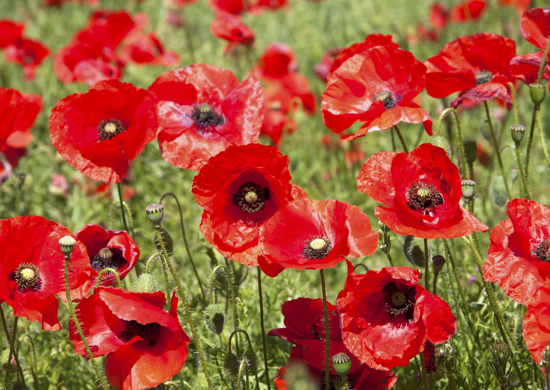 image of poppy flowers
