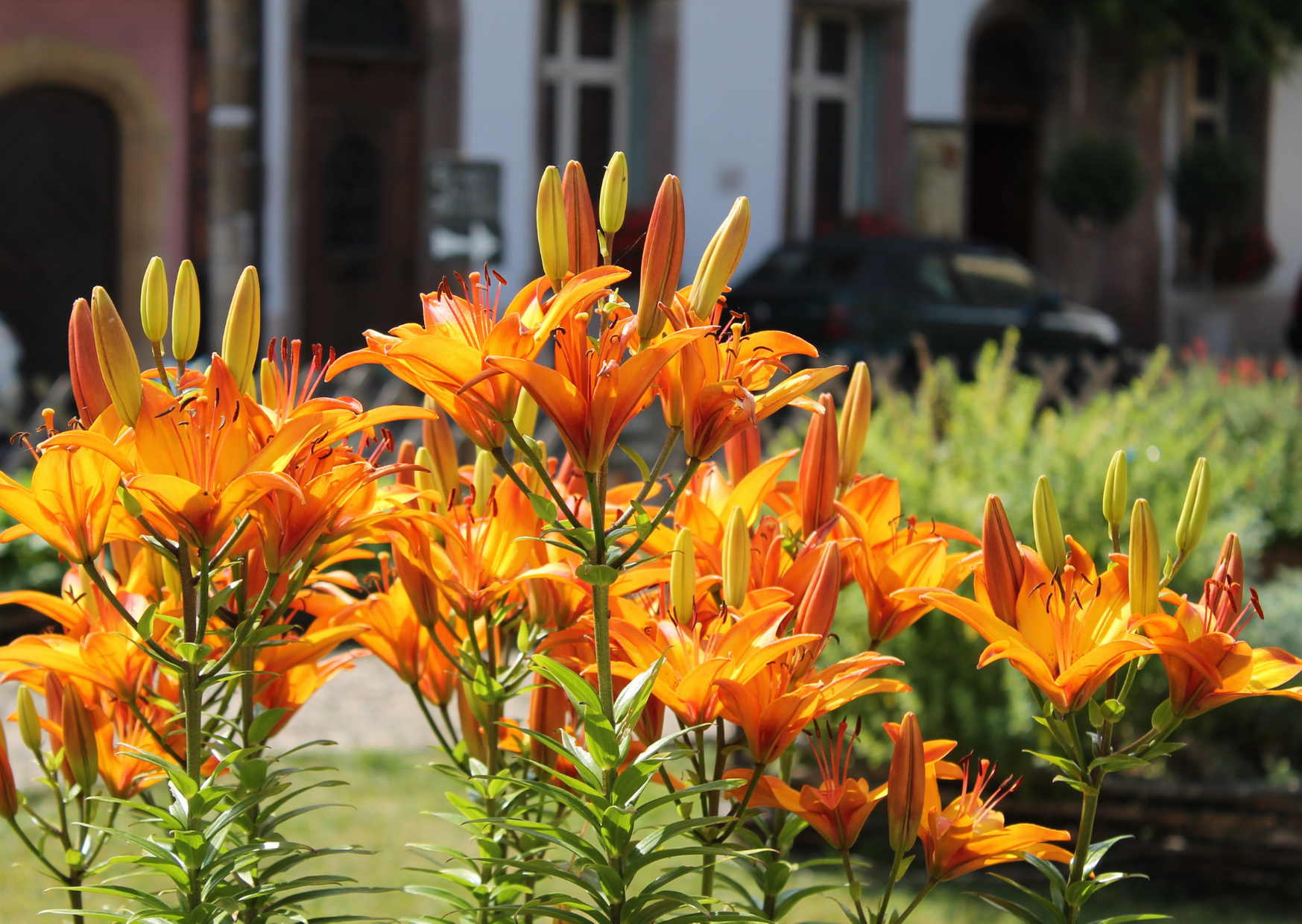 image of daylilies