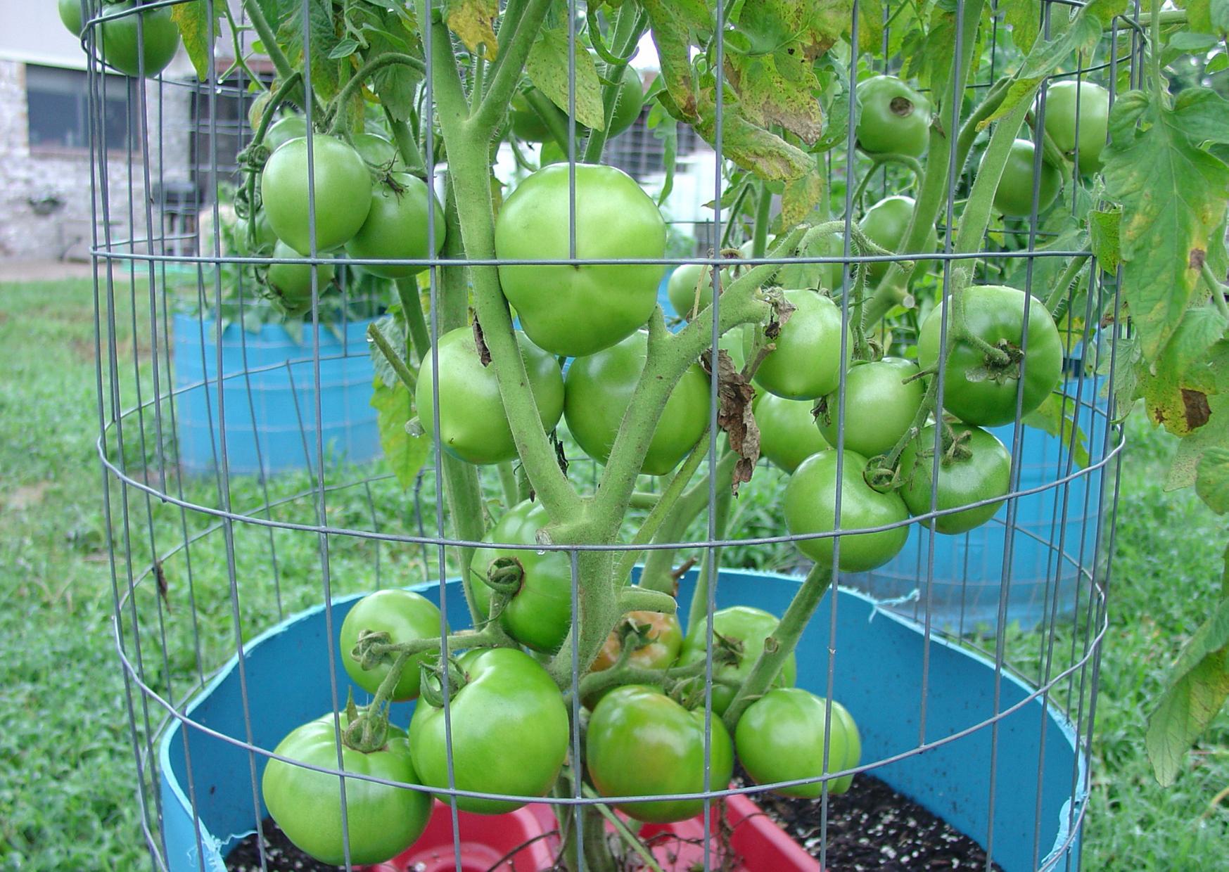 a fruitful tomato plant