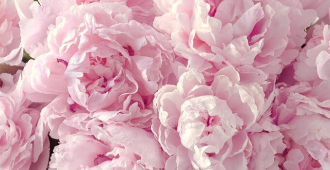 Photo of Peonies flower