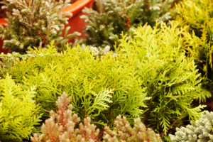 Fast Growing Evergreen Shrubs to Grow in Texas