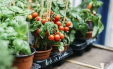 Photo of tomatoes in a pot