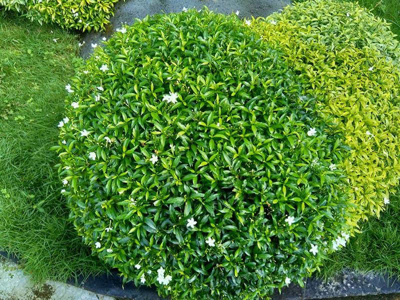 dwarf shrub plants