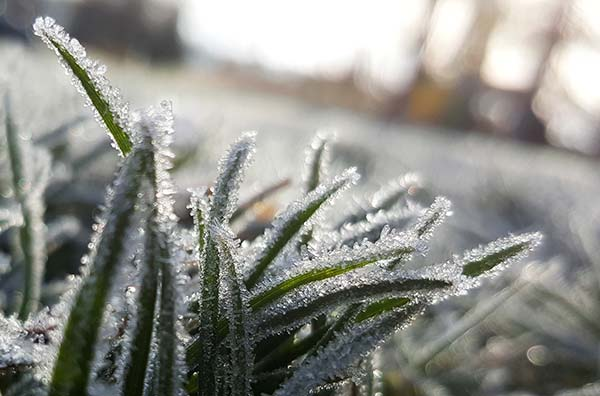 Photo of frost grass