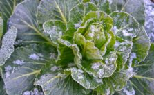 Photo of frost cabbage