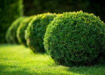 What Evergreen Shrubs Grow Well in Shade?