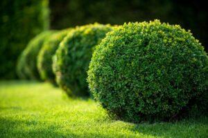 Photo of evergreen shrubs